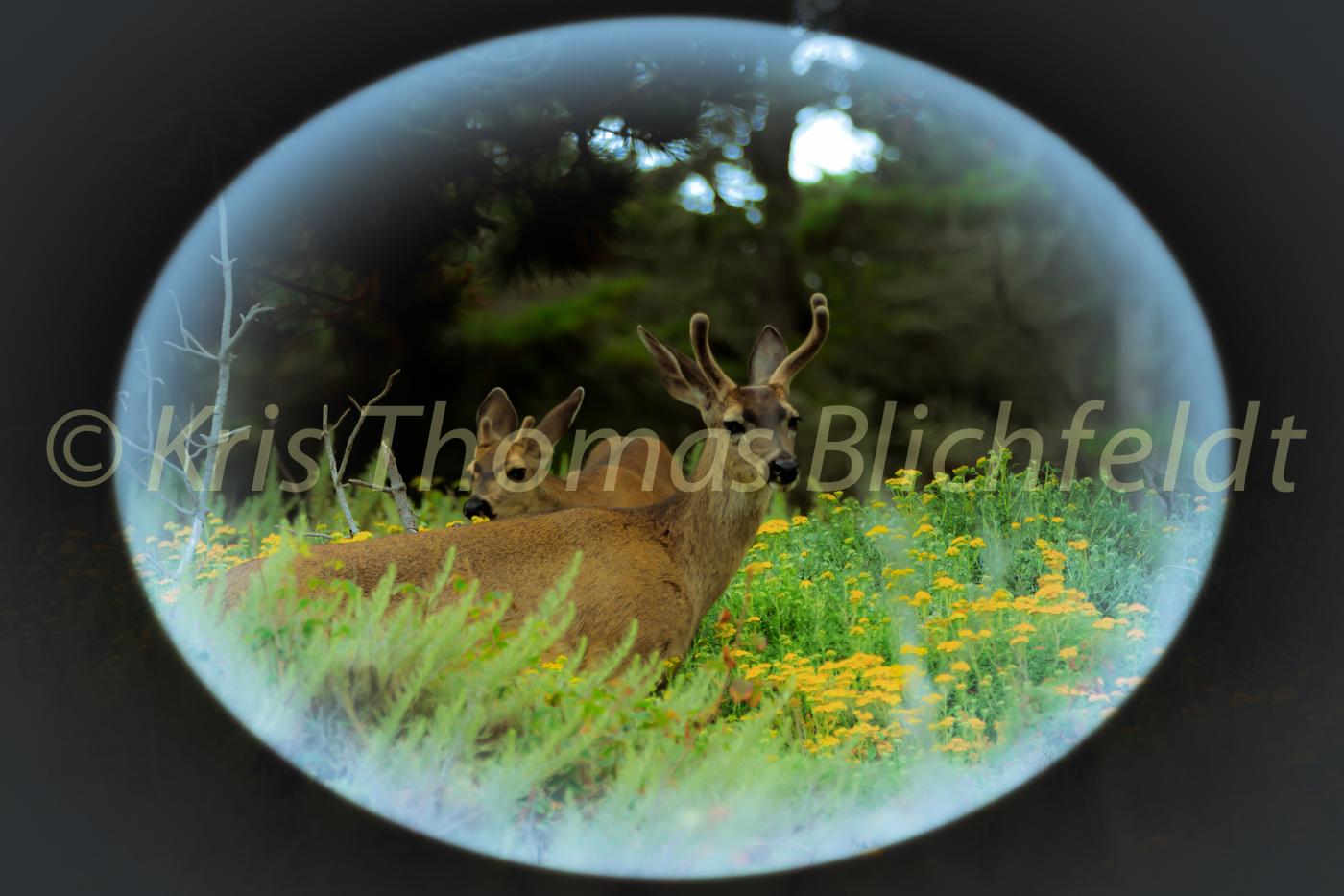 Soft antlers.tif.lobos.5.28.15
