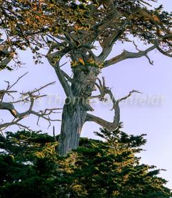 King cypress