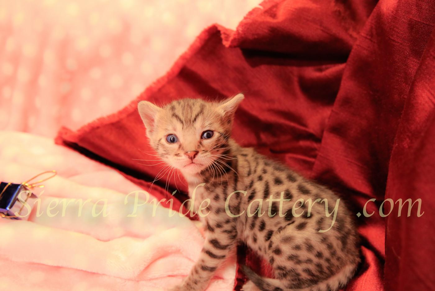 Savannah kittens.1.