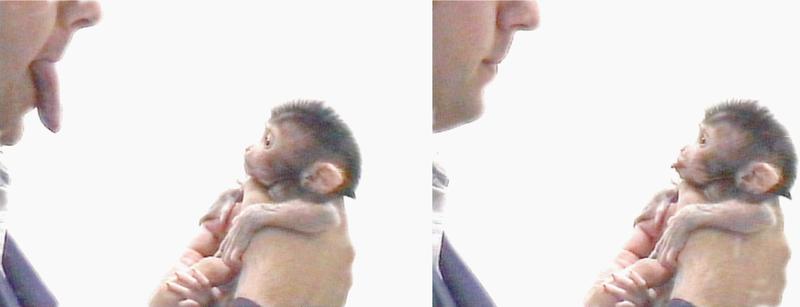 Spiegelneuronen im Affenversuch