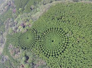 BOSQUE CIRCULAR DE JAPÓN: Un misterioso lugar en donde los árboles crecen con formas geométricas