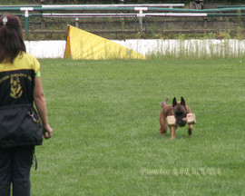 Frambos Barracuda - Malinois