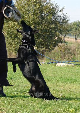 Pretty Traho - German Shepherd