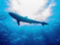 0 requin soyeux9.jpg