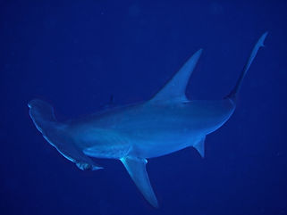 0 requin marteau3 Corinne.jpg