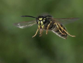 'Wasp in Flight' by Brian McKenna ( 9 marks )