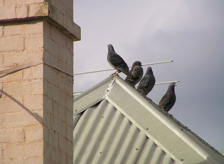 How to protect a roof from birds