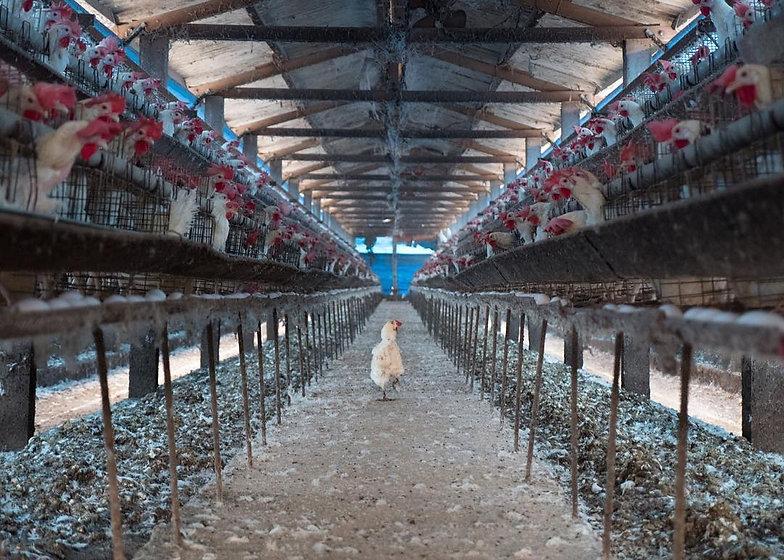 Hen-on-an-industrial-egg-farm.jpg