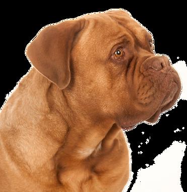 Die HundeLady - Bordeaux Dogge Spike