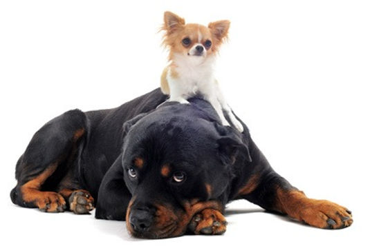 Die HundeLady - Rottweiler & Chihuahua