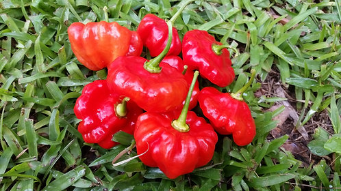 "Seasoning Pepper ""Redondo"""
