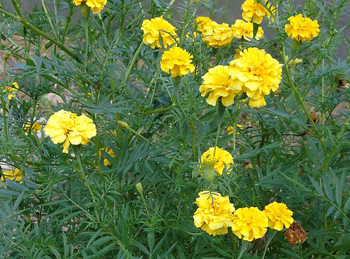 "Marigold "" Yellow tall"""