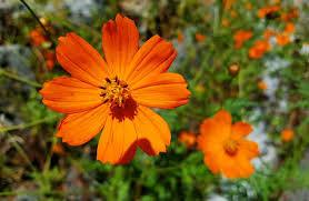 """Flor de Cosmos """"Naranja"""""""