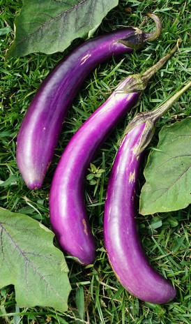 "Berenjena / Eggplant ""Larga"""
