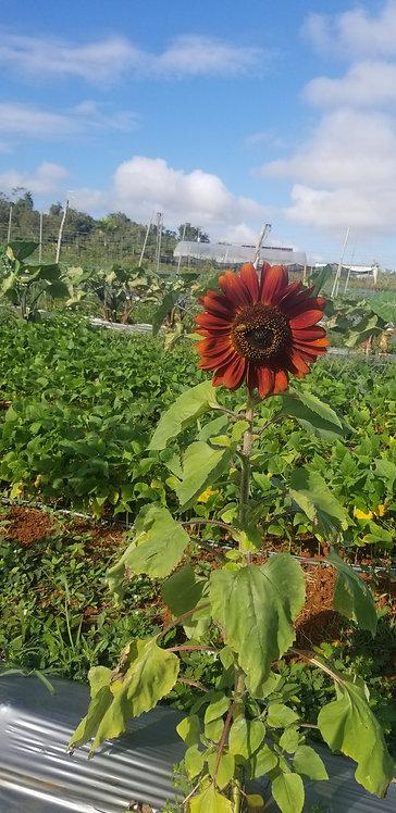 Velvet Sunflower