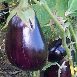 "Eggplant ""Black Beauty"""