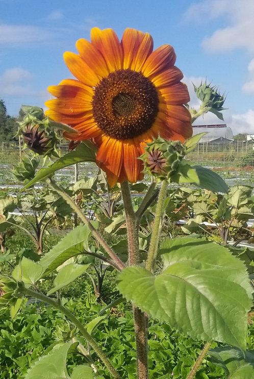 """Girasol / Sunflower """"Velvet Colors"""