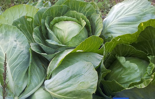 "Repollo/ Cabbage ""Early Jersey"""