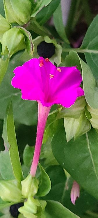 Flor de las 4 en punto/ 4 o'clock