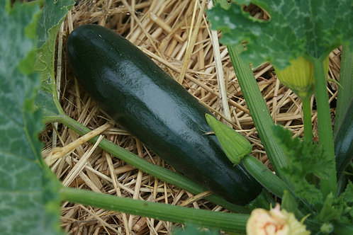 "Squash ""Black Beauty"""