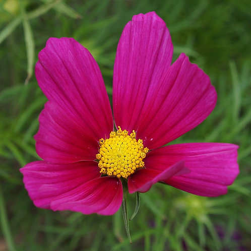 "Cosmos ""Red"""