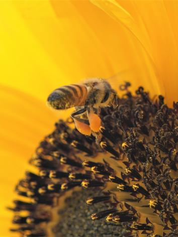 ABeja con pollen.png