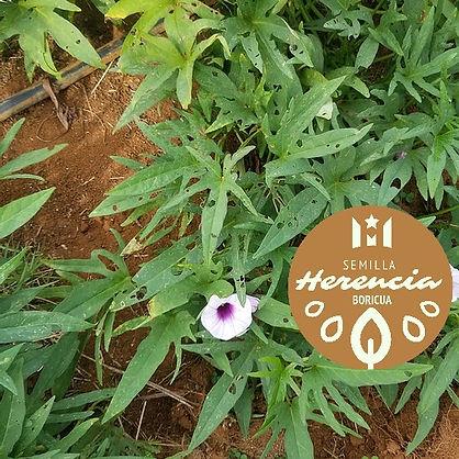 batata-herencia-boricua.jpg
