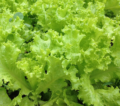 "Lettuce ""Black Seeded Simpsom"""