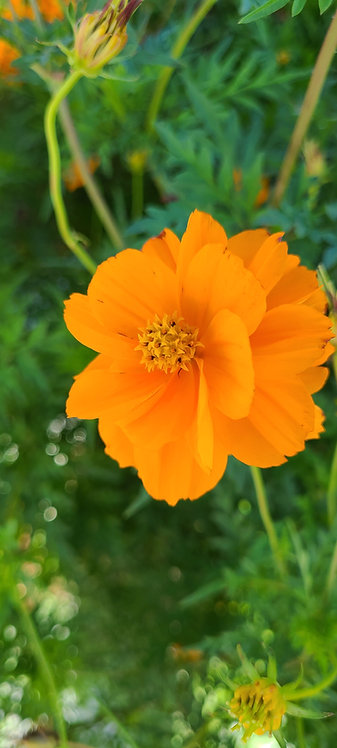 "Flor de Cosmos ""Naranja Doble"""