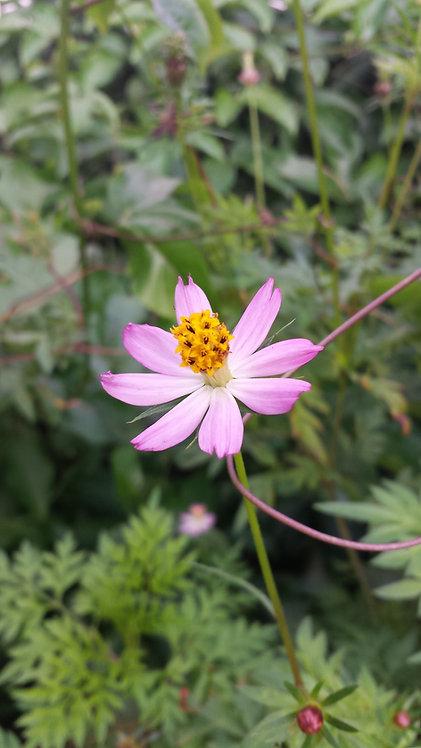 """Flor de Cosmos """"Rosita"""""""