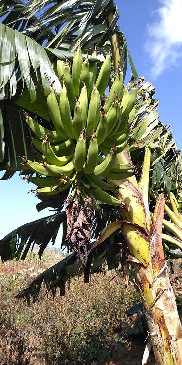 Bulbos de Plátano/ Plantain bulb