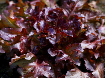 "Lechuga Roja / Red Lettuce ""Red Salad Bowl"""