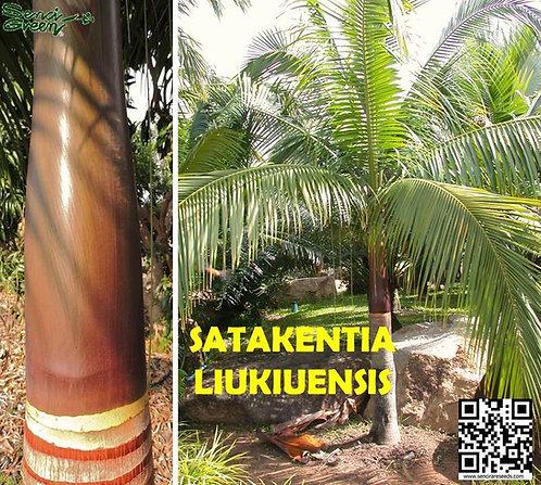 Satakentia liukiuensis,Satake palm #Rare palms ~Tropical Palm #Seedlings