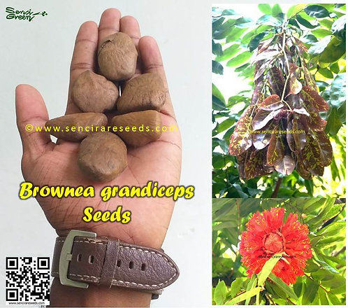 "Brownea grandiceps seeds  ""https://www.sencirareseeds.com/"""