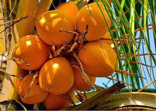King Coconut (Orange Color)  seed
