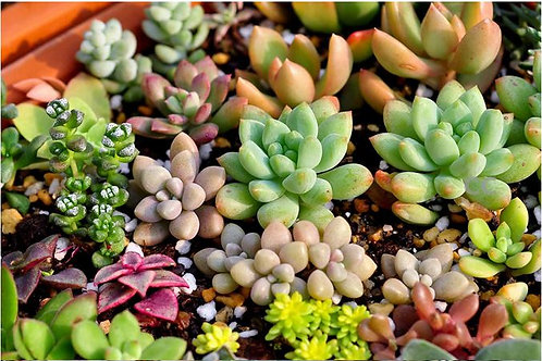SE004 Mix succulent seeds