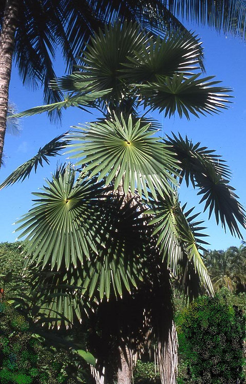 Coccothrinax argentea