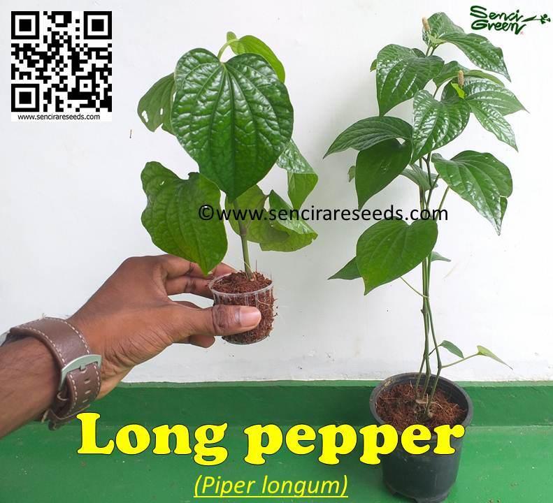 Piper Longum live plants