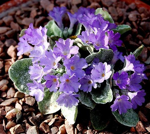 Primula ALBENENSIS Seeds