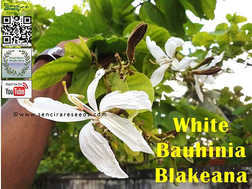 Bauhinia Blakeana (White) 100% FRESH seeds