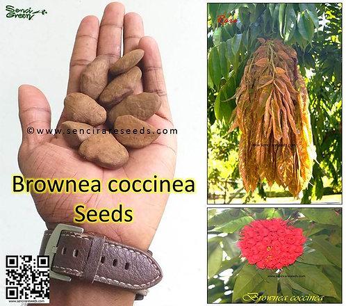 """Brownea coccinea seeds """"senci rare seeds area"""""""