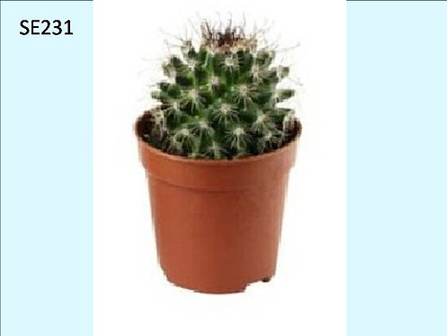Cactus Plant  SE231