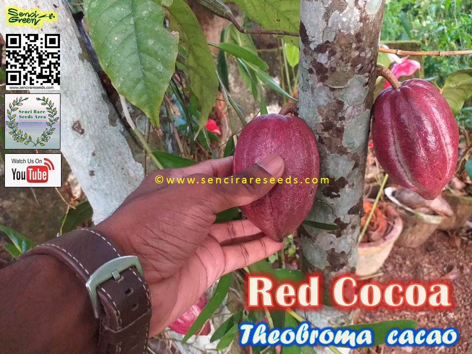 Red Cocoa Seeds (thabroma cocoa)