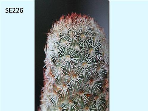 Cactus Plant  SE226