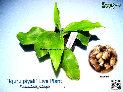 Kaempferia galanga 1 live plant