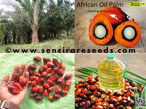 African Oil Palm (Elaeis guineensis) 100% FRESH