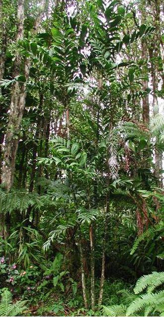 Basselinia eriostachys