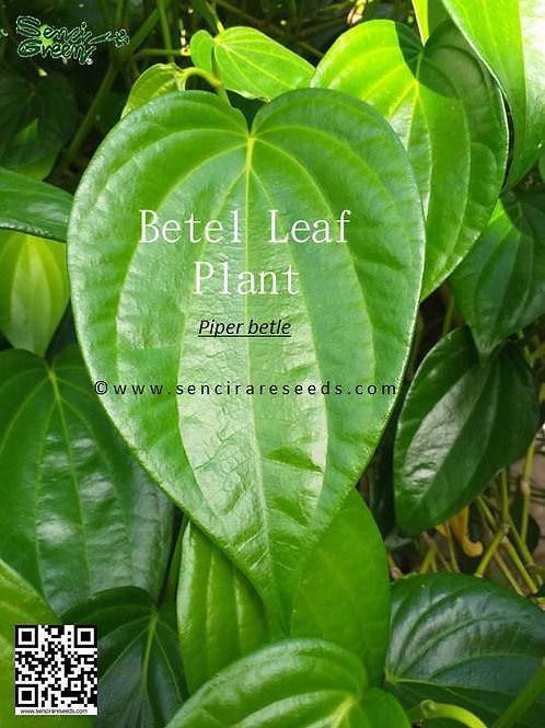 Betel Leaf (Piper betle) Live Plant