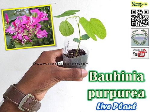 "Bauhinia purpurea Live Plant (8"" - 12"" Inches) - rare ""senci rare seeds area"""