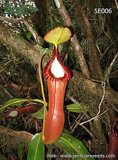 Nepenthes edwardsiana (SE006)